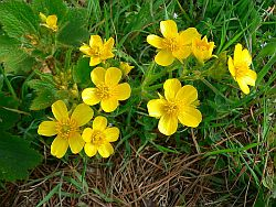Canary buttercup