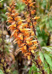 Canary foxglove
