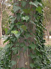 Canary ivy