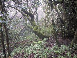 Garajonay forest