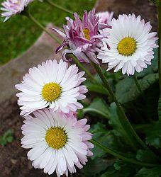 Tenerife daisy
