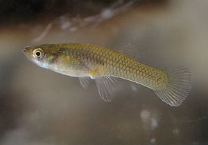 Freshwater fauna tenerife species found throughout the for Mosquito fish facts