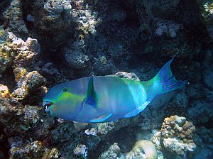 Marine fauna tenerife the aquatic life in the island 39 s for Parrot fish facts