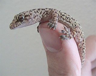 Turkish gecko