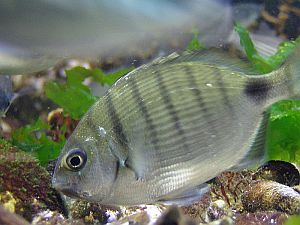white bream