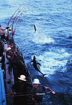 bigeye tunas being landed by fishermen