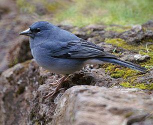 blue chaffinch