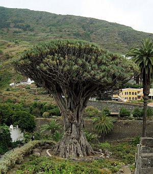 Dragon Tree Tenerife