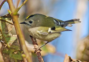 Tenerife goldcrest, or kinglet