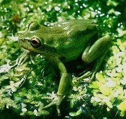 Mediterranean tree frog